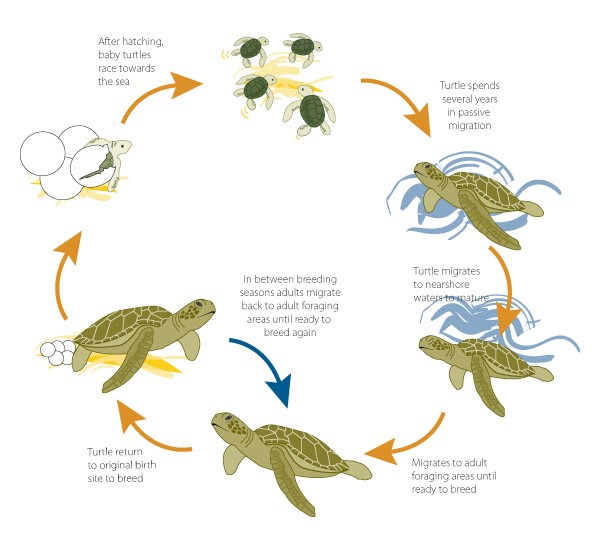 Lesson 6 - Turtle Life Cycles - - 52.7KB