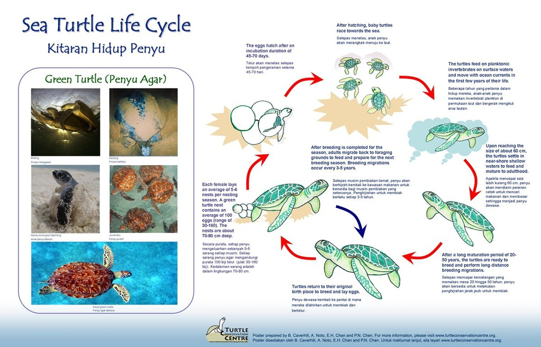 Lesson 6 - Turtle Life Cycles - Life Cycles: Exploring the